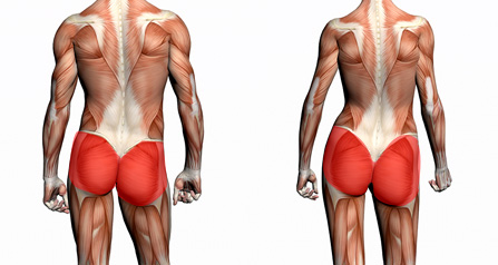 anatomie-muscles-fesses